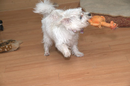 Rooney playing with chicken